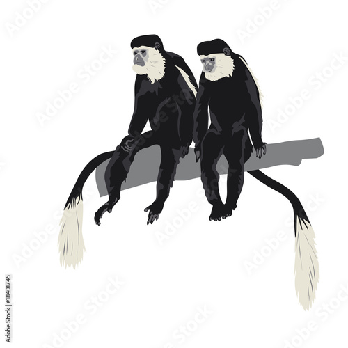 pair of Black-and-white colobus monkeys sitting