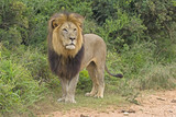 A large Male Lion appears out of the bush