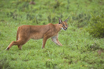 A beautiful Caracal is surprised out hunting early one morning