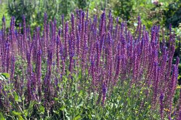 Steppensalbei; Salbei; Salvia nemorosa