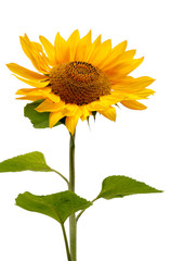 Sunflower with green leaves isolated on white