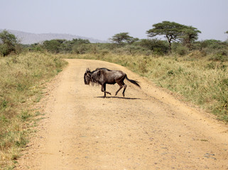 Wildebeest Crossing The Road
