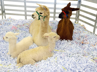 Two Alpaca with Cria