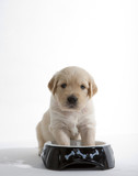 Fototapety puppy of golden retriever at its bowl