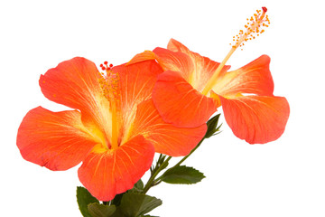 Orange hibiscus isoleted