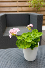 Pelargonium in modern garden