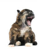 Small fluffy puppy sits and yawns isolated on white poster