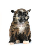 Cute fluffy puppy sitting isolated on white poster