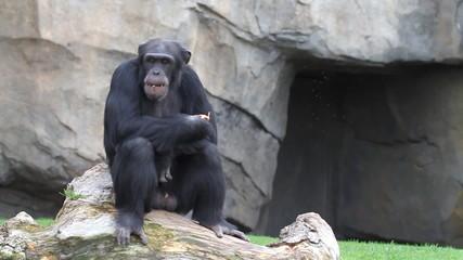 Chimpancé comiendo