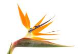 Strelitzia also known as bird of paradise flower poster