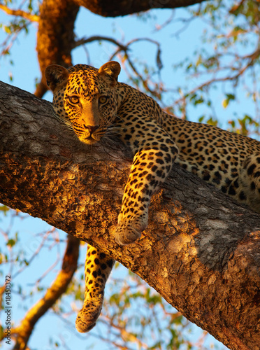 Poster Luipaard Leopard lying on the tree
