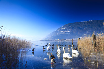 Frozen lake in the alps with swans and ducks on ice in winter