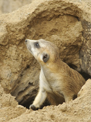 Young Meerkat Exiting Cave