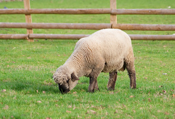 Black faced sheep in a green grass field