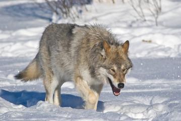 Wolf auf der Suche
