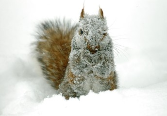 Wintry Grey Squirrel