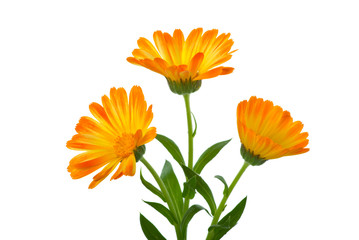 Three calendula flowers