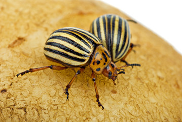 Two potato bugs (leptinotarsa decemlineata) on the potato