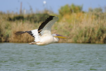 Great White Pelican (Pelecanus onocrotalus) in flight