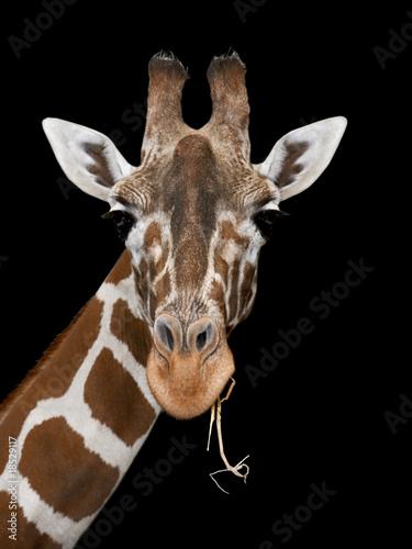Giraffe auf schwarz