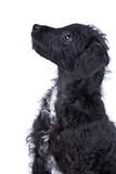 Adorable Jack-a-Doodle Puppy poster