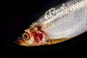 Close up of herring