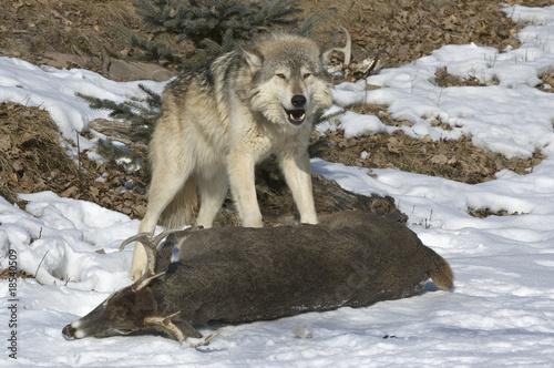 Fototapeta zwierzę - zdobycz - Dziki Ssak
