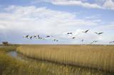 Cranes migrating over autumn marsh poster