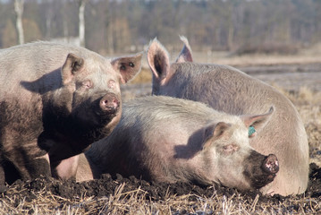 Landwirtschaft - Schweinzucht, Tierhaltung