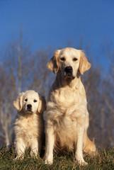 golden retriever et son chiot assis côte à côte