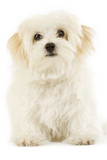Maltese dog puppy over white poster