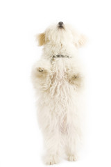 dog standing on it's hind legs