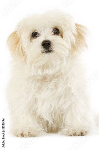 poster of Maltese dog puppy over white