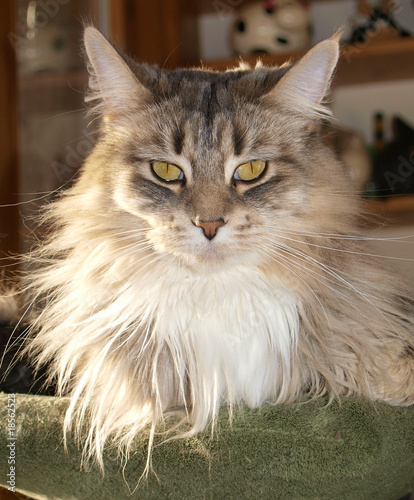 Chatte maine coon, grise, majestueuse.
