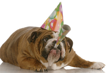 english bulldog birthday dog wearing hat and blowing horn