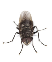 Extreme close-up of House fly isolated on white background.