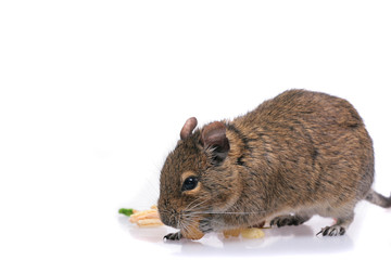 Degu on white