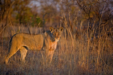 A young lioness shares the new day with me