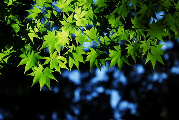 Green Maples