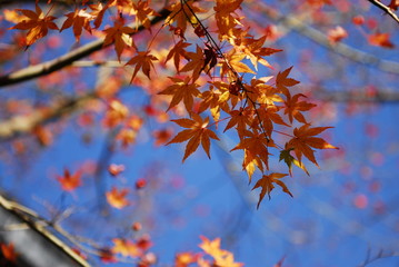 Orange Japanese Maples