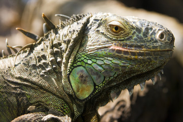 Green iguana lizard focus on its head in  a zoo