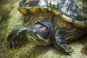 Red face turtle