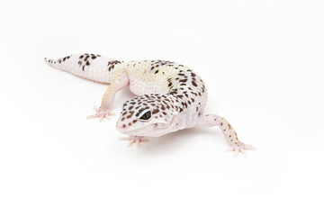 Hypo TUG Snow Leopard Gecko on a white background