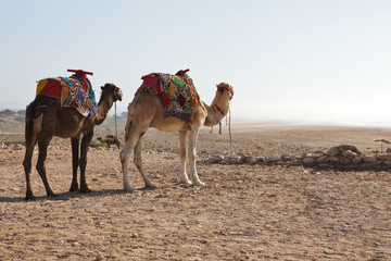 Camels in beach