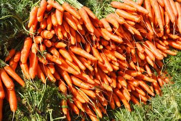 Just picked fresh organic carrots