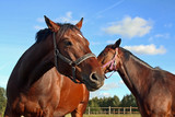 Two horses walking in enclosure poster