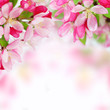 Soft spring apple flowers background