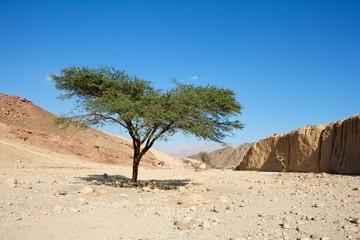 Acacia tree in the desert near Eilat, Israel