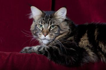 chat maine coon a l'air étrange aux yeux verts