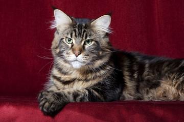 chat de race Maine coonde face pattes croisées